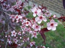 sakura Стоковое фото RF