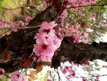 Sakura Zdjęcie Royalty Free