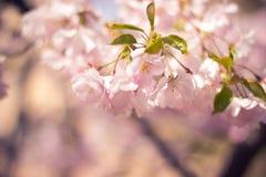 Sakura Fotografia de Stock