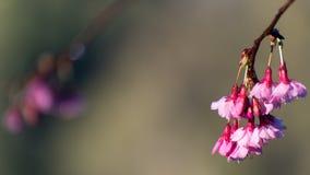 Sakura fotografie stock