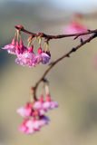 Sakura immagine stock libera da diritti