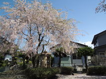 Sakura Photographie stock
