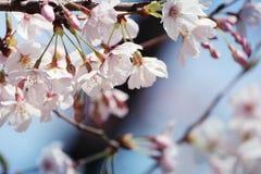 Sakura Obrazy Royalty Free