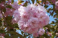 Sakura Στοκ εικόνα με δικαίωμα ελεύθερης χρήσης