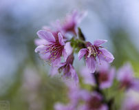 Sakura Arkivfoto