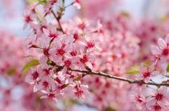 Sakura Stock Fotografie