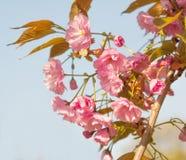 Sakura Royaltyfri Bild