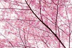 Sakura Imagens de Stock Royalty Free