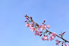 Sakura Imagem de Stock