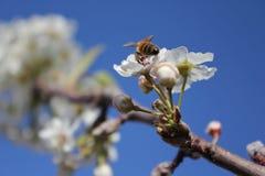 Sakura photo libre de droits