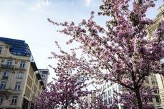 Sakura Fotografía de archivo
