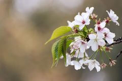 Sakura Fotografia Royalty Free