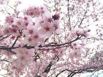 Sakura Fotos de archivo libres de regalías