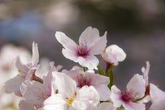 Sakura 2 Fotografie Stock
