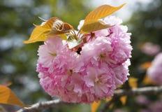 Sakura Royaltyfria Foton