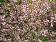 Sakura Imagenes de archivo
