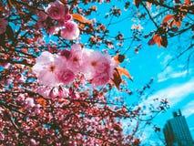 Sakura zdjęcia royalty free