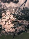 Sakura Royalty-vrije Stock Afbeelding