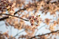 Sakura In Afternoon Sun foto de archivo