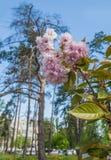 Sakura alley in Kiev Stock Images