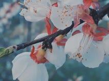 Sakura royaltyfria bilder