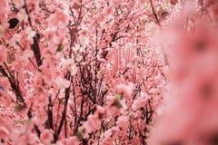 Sakura. Artificial Sakura Flowers stock photo