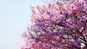 Sakura fotos de stock