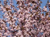 Sakura au printemps Image libre de droits