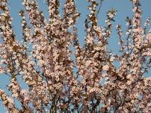 Sakura au printemps Photo stock