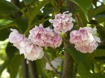 Sakura au printemps Photographie stock libre de droits