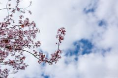 Sakura in Australia royalty free stock photos