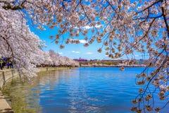 Sakura av april i washington, dc, Förenta staterna royaltyfri foto
