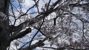 Sakura19b στοκ εικόνες