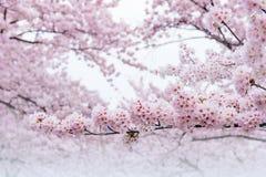 Άνθος κερασιών, εποχή Sakura στην Κορέα, Backgroun Στοκ φωτογραφία με δικαίωμα ελεύθερης χρήσης