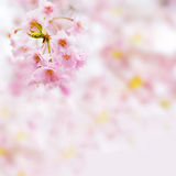 Sakura background Royalty Free Stock Image