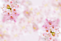 Sakura background Stock Photography