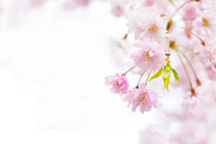 Sakura background Royalty Free Stock Photo