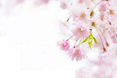 Sakura background Royalty Free Stock Photo
