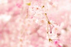 Sakura background Stock Images