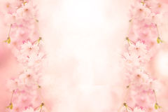 Sakura background Stock Image