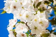 Sakura Royalty Free Stock Photos