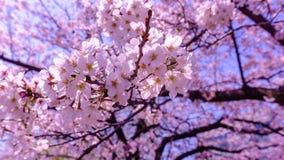 Sakura bakgrund i vår på Tokyo Japan Fotografering för Bildbyråer