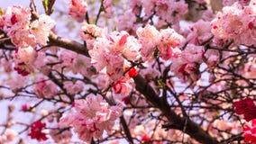 Sakura bakgrund i vår på Tokyo Japan Royaltyfria Foton