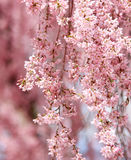 Sakura. beautiful cherry blossom Stock Photos