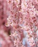 Sakura. beautiful cherry blossom Stock Photos