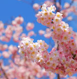 Sakura. beautiful cherry blossom in springtime Royalty Free Stock Image
