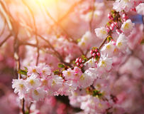 Sakura. beautiful cherry blossom in springtime Royalty Free Stock Photos