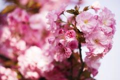 Sakura. Beautiful cherry close-up photo Royalty Free Stock Images