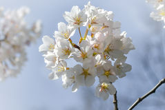 Sakura. A beautiful day of spring Royalty Free Stock Photography