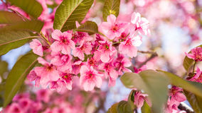 Sakura Beautiful Flower Lizenzfreies Stockfoto